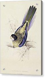 Browns Parakeet Acrylic Print by Edward Lear