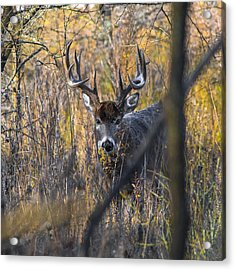 Brush Buck Acrylic Print