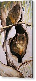 Brush Tail Possum Acrylic Print