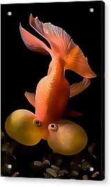 Bubble Eye Goldfish Acrylic Print by Wernher Krutein