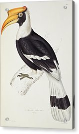 Great Hornbill Acrylic Print by John Gould