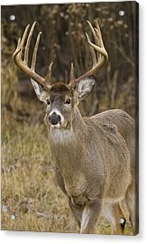 Buck Approaching Acrylic Print by Larry Bohlin