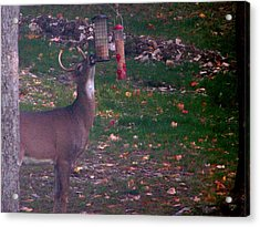 Buck Checking Out Birdseed Acrylic Print by Lila Mattison