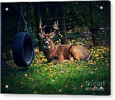 Buck In The Back Yard Acrylic Print