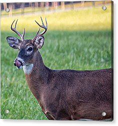 Acrylic Print featuring the photograph Buck Licking His Chops At Cades Cove Inside Of The Great Smoky Mountains National Park by Peter Ciro