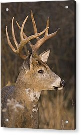 Buck Portrait Acrylic Print by Larry Bohlin