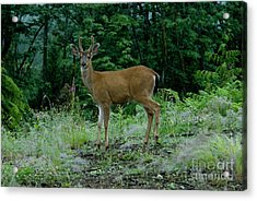 Acrylic Print featuring the photograph Buck by Rod Wiens