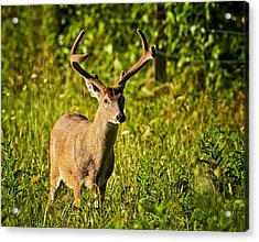 Buck Acrylic Print by Tyson and Kathy Smith
