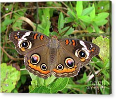 Acrylic Print featuring the photograph Buckeye Butterfly by Donna Brown