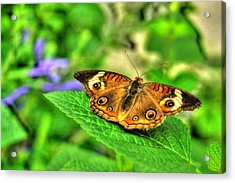 Acrylic Print featuring the photograph Buckeye Butterfly by Ed Roberts