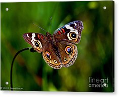 Acrylic Print featuring the photograph Buckeye Butterfly by Mitch Shindelbower