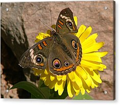 Buckeye Butterfly On Yellow Flower And Rock - 101 Acrylic Print