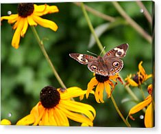 Buckeye On Brown-eyed Susan Acrylic Print