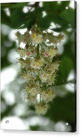 Buckeye Tree Bloom Acrylic Print