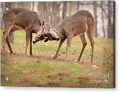Bucks Fighting 1 Acrylic Print by Brenda Bostic