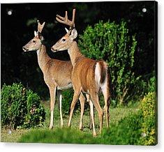 Bucks In Silk Acrylic Print by Angel Cher