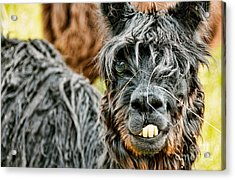 Acrylic Print featuring the photograph Bucky The Alpaca by David Lawson