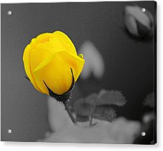 Bud - A Splash Of Yellow Acrylic Print by John  Greaves