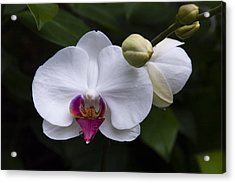 Acrylic Print featuring the photograph Bud And Bloom II by Penny Lisowski