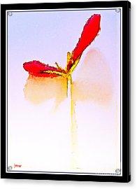Budding Amaryllis  Acrylic Print by Joseph Welsh