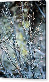 Budding Bush Acrylic Print