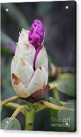 Budding Rhododendron Acrylic Print