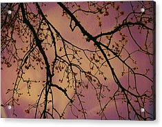 Budding Tree Acrylic Print