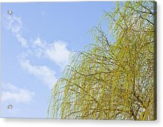 Budding Willow Acrylic Print