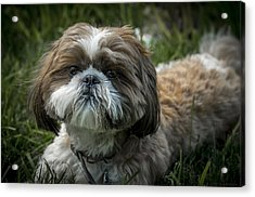 Buddy Acrylic Print by Phil Abrams