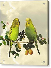 Budgerigars In Kumquat Tree Acrylic Print by IM Spadecaller