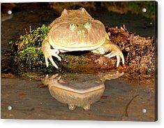 Budgett's Frog, Lepidobatrachus Asper Acrylic Print by David Northcott