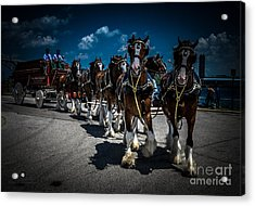 Budweiser Clydesdales Acrylic Print