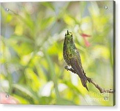 Acrylic Print featuring the photograph Buff-tailed Coronet Hummingbird by Dan Suzio