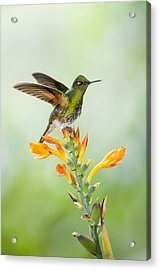 Buff-tailed Coronet Hummingbird Acrylic Print by Tui De Roy