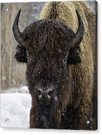 Buffalao In Snow Acrylic Print