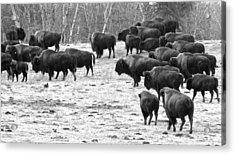 Buffalo Acrylic Print by Brian Sereda