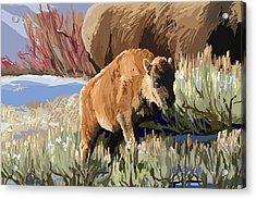 Buffalo Calf Acrylic Print