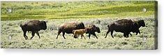 Buffalo Family Acrylic Print