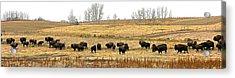 Buffalo Late Fall Acrylic Print