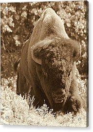 Buffalo Acrylic Print by Mickey Harkins