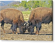 Buffaloes At Play Acrylic Print