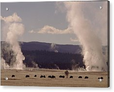 Buffalos Roaming In Yellowstone National Park. Acrylic Print by Retro Images Archive