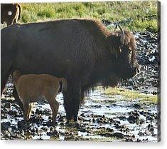 Bufffalo Cow Nursing A Red Dog-signed-#2186 Acrylic Print