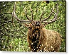 Bugling Bull Elk II Acrylic Print