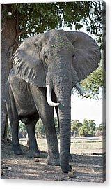 Bull African Elephant Acrylic Print by Tony Camacho