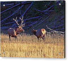 Bull And Cow Elk Acrylic Print