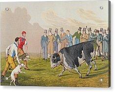 Bull Baiting Acrylic Print
