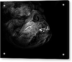 Acrylic Print featuring the photograph Bull Dog by Bob Orsillo