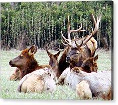 Bull Elk And His Girls 2 Acrylic Print
