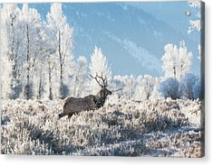 Acrylic Print featuring the photograph Bull Elk At Winter Dawn by Yeates Photography